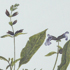 Sauge officinalis - Salvia officinalis